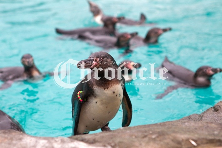 B36-25-3-21-Pferry-Penguins